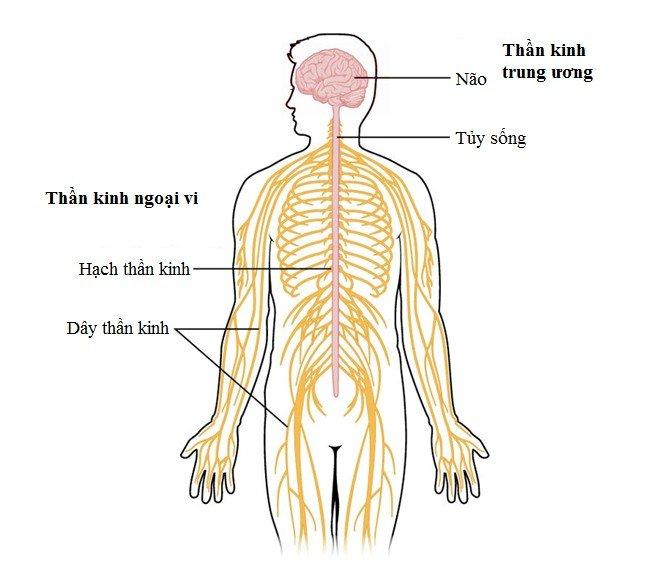 Bài giảng giải phẫu hệ thần kinh – giải phẫu não